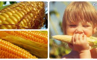 Полезные свойства кукурузы и ее вред для организма человека, использование в народной медицине