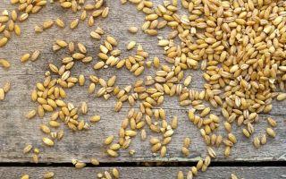 Польза и вред ячменя: химический состав продукта, применение в быту