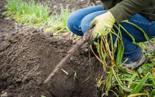 Скорцонера, черный корень: пищевая ценность, применение, полезные свойства и вред