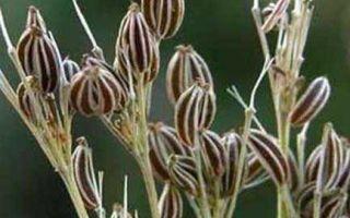 Тмин: польза и вред, химический состав растения, пищевая ценность и противопоказания