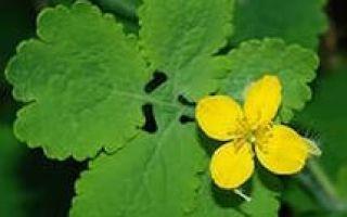 Чистотел: ботаническое описание, полезные свойства, показания и противопоказания