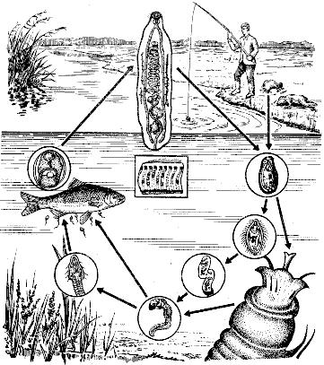 Диагностика гельминтозов: жизненный цикл паразитов, места обитания в организме и во внешней среде.