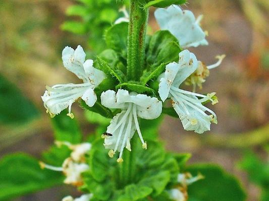 Полезные свойства базилика для организма, противопоказания к употреблению, пищевая ценность базилика и применение вне кулинарии.