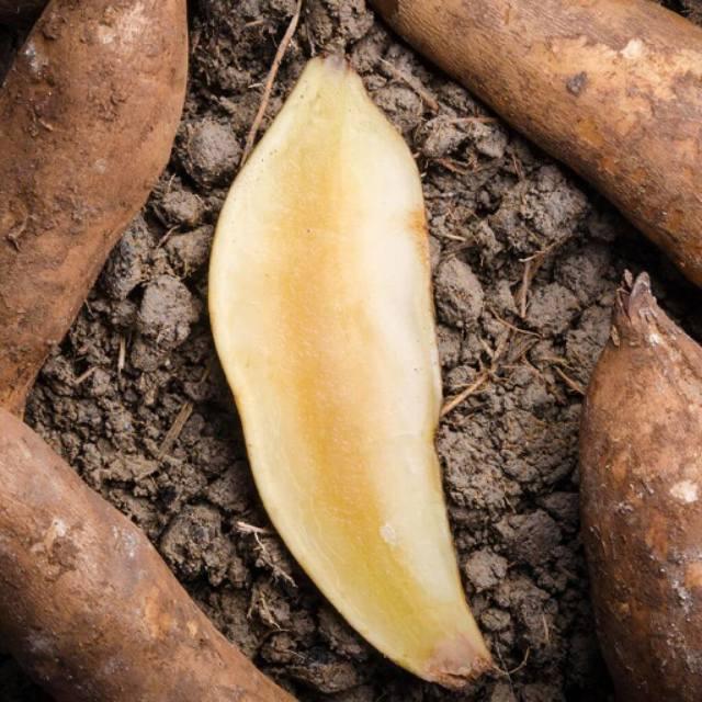 Якон: польза растения, вред, пищевая ценность, химический состав