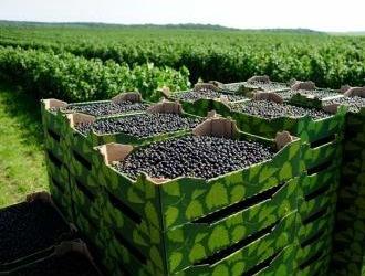 Польза черной смородины для организма, пищевая ценность и химический состав, противопоказания к употреблению черной смородины, применение в народной медицине