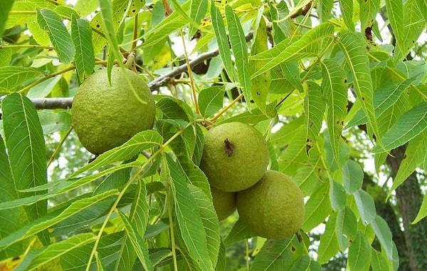 Польза черного ореха, химический состав плодов и листьев, использование в медицине, возможный вред от настойки