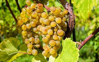 Кишмиш – полезные свойства и химический состав винограда, противопоказания к употреблению.