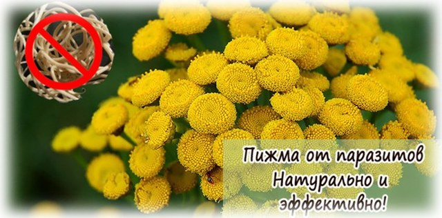 Народные средства от глистов: как принимать полынь, цветы пижмы, папоротника, семена тыквы от глистов