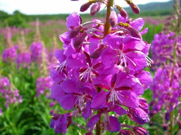 Иван-чай: сведения о лекарственном растении, показания и противопоказанию к применению