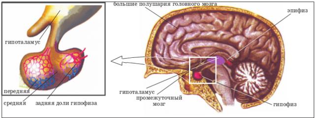 Гипогонадизм у мужчин и женщин: симптомы и лечение первичного и вторичного гипогонадизма