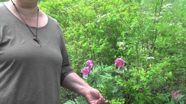 Настойка пиона: инструкция по применению, противопоказания, от чего помогает настойка пиона уклоняющегося