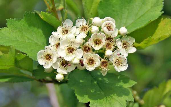 Боярышник: полезные свойства растения, показания, противопоказания и способы применения