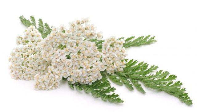 Травы, наиболее эффективные при лечении насморка: показания и способы применения