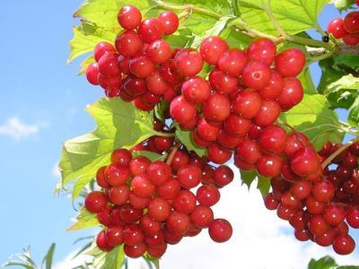 Красная рябина – полезные свойства, противопоказания, состав, рецепты