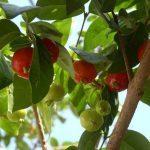Питанга: пищевая ценность суринамской вишни, полезные свойства, возможный вред
