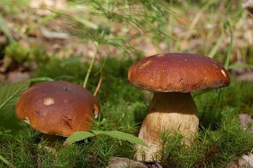 Белый гриб: польза и вред, фото и описания белого гриба