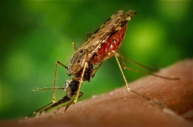 Малярия: симптомы, виды возбудителя, жизненный цикл плазмодия, диагностические критерии, лечение и профилактика малярии.