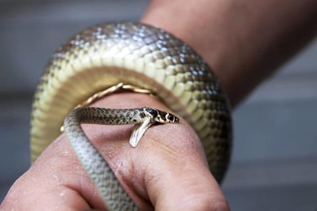 Первая помощь при укусе змеи: что делать при укусе ядовитой змеи, ужа, кобры