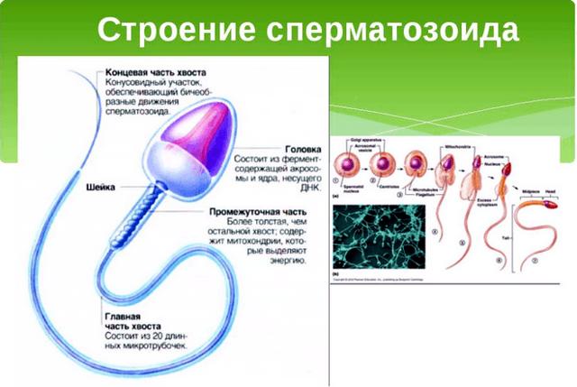 Анализ спермограммы: расшифровка результатов, норма, подготовка к спермограмме