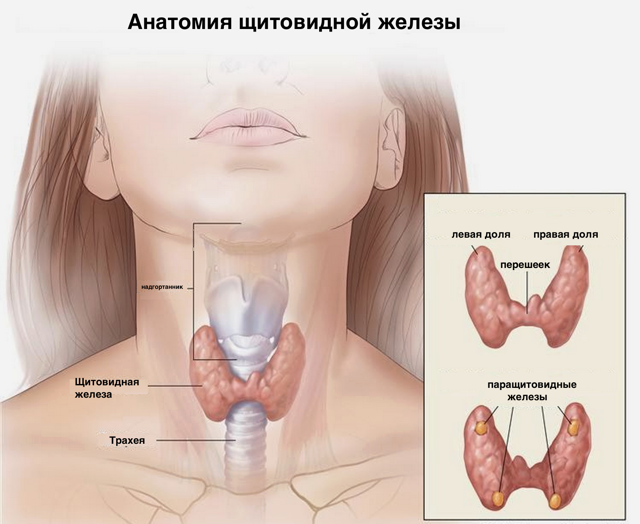 Увеличиваются узлы в щитовидной железе, принимать ли тироксин-л?