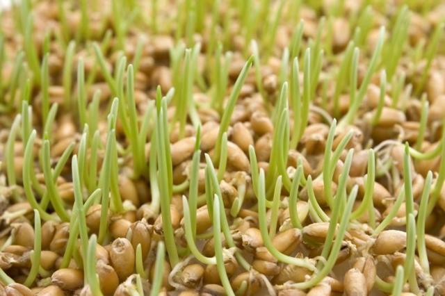 Польза и вред пророщенной пшеницы, как употреблять пророщенную пшеницу