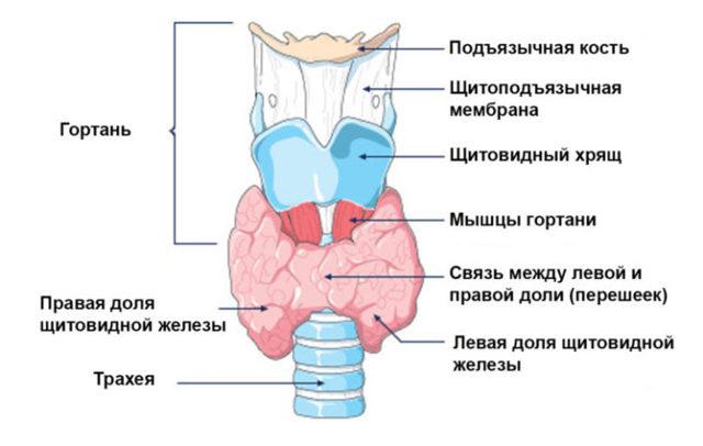 Как расшифровать результаты УЗИ, риски при гипоплазии и гиперплазии щитовидной железы