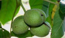 Грецкие орехи: польза и вред, пищевая ценность, химический состав