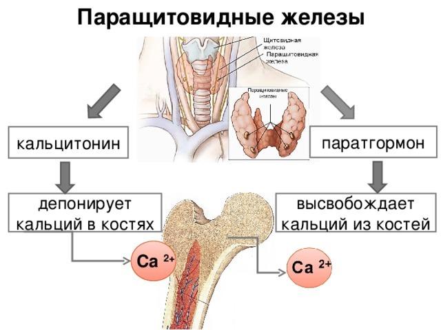 Анализ крови на общий кальций и ионизированный: что это такое, в чем разница, срок годности при остеопорозе
