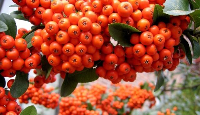 Арония (рябина) черноплодная – полезные свойства, химический состав, правила сбора и хранения.