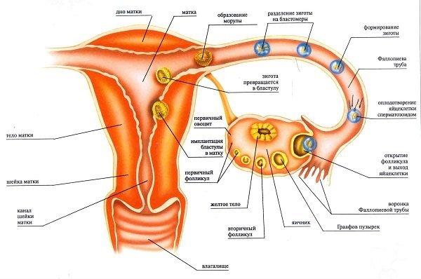 Тест на беременность: с какого срока показывает, определяет до задержки, после зачатия