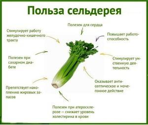 Полезные свойства сельдерея для мужчин и женщин, вред сельдерея и способы использования