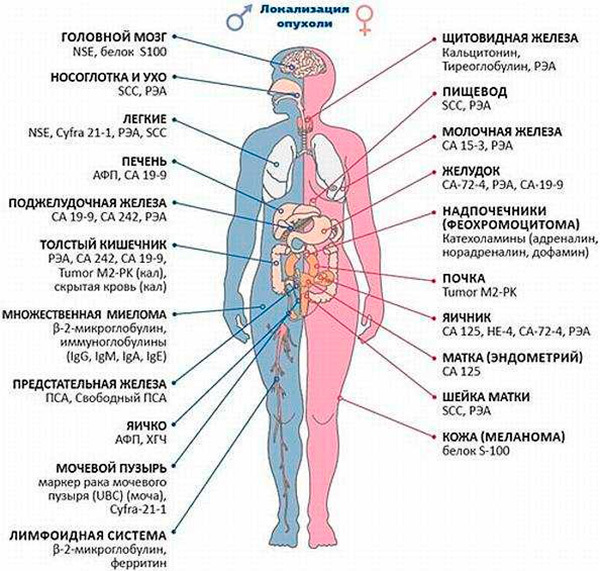 Что показывает анализ крови на онкомаркеры: виды онкомаркеров, расшифровка анализа на онкомаркеры.