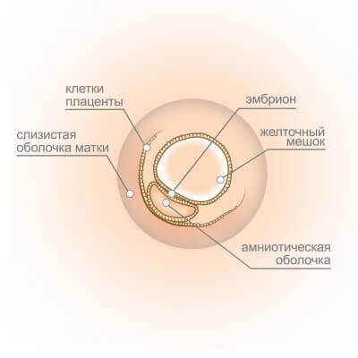 3 неделя беременности: признаки, ощущения, УЗИ на 3 неделе беременности