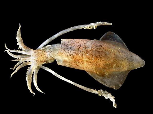 Полезные свойства кальмаров, противопоказания и состав, пищевая ценность кальмаров