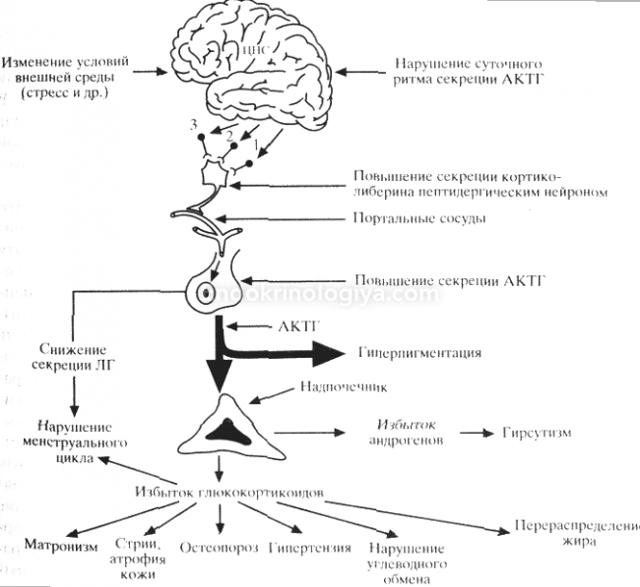 Альдостерома надпочечника: симптомы, причины и лечение
